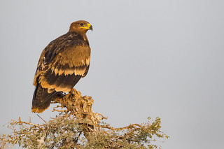 Steppe Eagle | Aquila nipalensis | Endangered species at the Jorbeer Vulture Sanctuary, Bikaner, Rajasthan, India