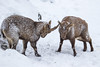 4R3A4351 (Thomas 2312) Tags: tiere winter hohe wand steinbock
