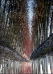 pioppi-riflessi (claudiomantova1) Tags: riflessi alberi