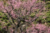 Red plum (Teruhide Tomori) Tags: kyoto japan japon spring flower ume plum tree kyotoimperialpark blossom 春 京都 日本 京都御苑 梅 樹木