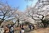 IMG_5887 (digitalbear) Tags: canon eos6d sigma 14mm f18 dg art shinjku gyoen sakura cherry blossom blooming hanami tokyo japan