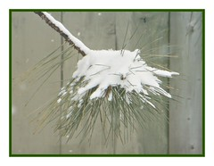 Snow On Pine Needles - Happy Palm Sunday (bigbrowneyez) Tags: snow winter needles pine pineneedles fence wood frame cornice nature natura pretty cold freddo kanata thespa lovely artful delicate delightful texture bello ontario canada fresh prickly snowonpineneedles simplicity semplice detail fun striking inverno macro closeup