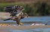 Bald Eagle (Juvenile) (salmoteb@rogers.com) Tags: bird wild outdoor nature bald eagle juvenile wildlife ontario canada fish shore prey
