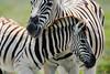 Etosha Zebras ([dscphoto]) Tags: field babyanimal zebra wildlife animals namibia etosha zebras