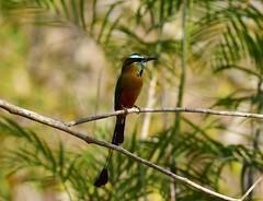 Turquoise-browed Motmot (orientalizing) Tags: animals birds ekbalam mexico northamerica turquoisebrowedmotmot yucatan