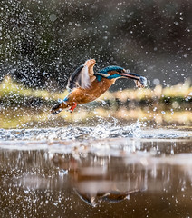 Emerging Kingfisher (stoneleighboy) Tags: birds nture kingfisher speed amazing blue water scotland nikon magical spiltsecond action