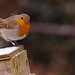 Robin - RSPB Sandy