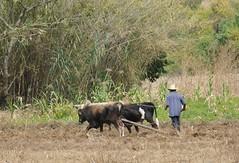 Plowing with Oxen Oaxaca Mexico (Ilhuicamina) Tags: yunta bueyes oxen mexico farming plowing maiz jalapadelvalle oaxaca mexican