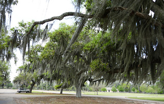 Oak trees and Spanish Moss dominate the scene