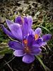 Saffron. (vidaficko) Tags: saffron spring bouquet flowers violet