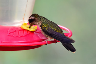 Черноухий колибри, Adelomyia melanogenys maculata, Speckled Hummingbird