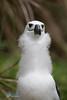Chick of a Yellow-nosed Albatross at Nightingale Island (Tristan da Cunha archipelago) (LEXsample) Tags: albatross atlanticyellownosedalbatross atlantischegeelsnavelalbatros diomedeidae lexsample nightingale nightingaleisland procellariidae procellariiformes southernocean thalassarche thalassarchechlororhynchos tristandacunha tristandacunhaarchipelago biodiversity chick child coast coastal immature individual juvenile littoral mallemok mollymawk nest one seabird single smallalbatross status:iucn=en tubenose wildlife young