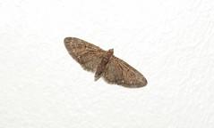 Brindled Pug Moth (Eupithecia abbreviata) (Nick Dobbs) Tags: brindled pug moth eupithecia abbreviata insect nocturnal geometridae larentiinae