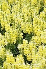 Longwood Gardens Spring 2017 (190) (Framemaker 2014) Tags: longwood gardens kennett square pennsylvania tulips united states america
