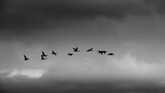 geese! (m_laRs_k) Tags: geese holland noordzee beach sky flock birds olympus monotone monochrome noir 7dwf thursday cof cof022stef cof022dmnq cof022chon