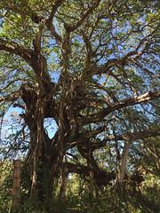 Strangler Fig (Ficus aurea) (HockeyholicAZ) Tags: flora fauna landscape beauty hermosa linda flor arbol costarica nicoya guanacaste tico seca azucar sugarcane tamarindo coco liberia