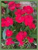 Benidorm. Flores 05 (ferlomu) Tags: alicante benidorm ferlomu flor flores flower