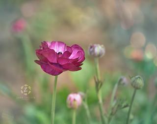 Tecolote® Giant Ranunculus