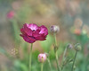 Tecolote® Giant Ranunculus (Zara Calista) Tags: tecolote giant ranunculus nikon plant flower bokeh blur light purple green persian buttercup