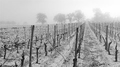 trees in the mist (klaus.huppertz) Tags: löwenstein blackwhite sw schwarzweis landschaft landscape winter snow schnee weinberg vineyard tree baum bäume nebel mist fog row reihe nikon nikkor nikond750 d750 natur nature outdoor 2470mmf28g