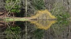 Treeflections (ambo333) Tags: hayton cumbria england uk tree trees reflection reflections treereflection treereflections water h2o lake edmondcastle