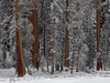 Winter Sequoia Grove (rianklong) Tags: sonyα7riii sonya7riii metabonessmartadaptermarkv canonef70200mmf28lisusm sequoianationalpark sequoia national park nationalpark california ca usa forest nature snow winter white trees tree brown landscape woods