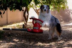 15/52 Yard Work (Jasper's Human) Tags: 52weeksfordogs 52wfd aussie australianshepherd workingbreed leafblower