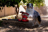 15/52 Yard Work (Jasper's Human) Tags: 52weeksfordogs 52wfd aussie australianshepherd workingbreed leafblower