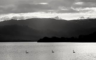 Evening Swans