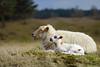 Mother Love (laagwater) Tags: drentsheideschaap schaap sheep lam lammetje moederliefde drenthe lamb konicaar135mmf32 sony a7