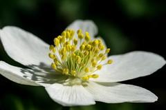 Anemone Nemorosa - Enjoy The Sunlight (wowafo) Tags: macro flower spring frühling sunlight anemone nemorosa sony alpha 6000 nature natur bloom sonnenschein buschwindröschen