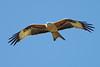 Red Kite 3 (Hugobian) Tags: red kites kite bird birds nature wildlife fauna flight flying raptor pentax k1 stilton