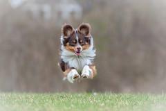Naughty (The Papa'razzi of dogs) Tags: viby centraldenmarkregion denmark dk dog flying jump