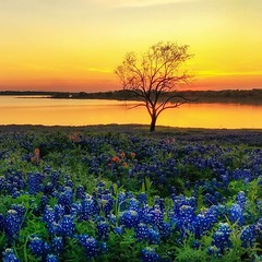 Well, I think this year's bluebonnets are slowly slipping away... but they sure haven't disappointed, beautiful as always! (WWW.ROBERTBELLOMY.COM) Tags: texas goldenhour wildflowers trees lake sunset bluebonnet bluebonnets ifttt instagram