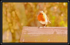 """Basking in the Spring Sun..."" (NikonShutterBug1) Tags: nikond7100 tamron18400mm birds ornithology wildlife nature spe smartphotoeditor bokeh robin"