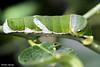 Papillons en liberté (photolenvol) Tags: papillonsenliberte jardinbotanique chenille caterpillar nature macro macrophotographie