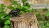 Et Hop! (JB89100) Tags: 2018 6kphotomode effetsspeciaux merles oiseaux quoi