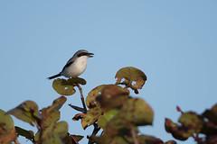 Loggerhead Shrike (lindseyday3) Tags: shrike bird birds nature animal animals wildlife d500 nikon nikond500