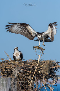 Osprey of the Jersey Shore | 2018 - 14