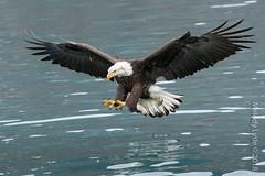 Bald Eagle, mature (karenmelody) Tags: accipitridae accipitriformes alaska animal animals baldeagle bird birds haliaeetusleucocephalus kachemakbaynearhomer usa vertebrate vertebrates