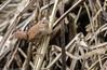 9Q6A8861 (2) (Alinbidford) Tags: alancurtis alinbidford brandonmarsh nature wildbirds wildlife wren