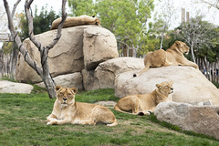 Pride of lions (Gill Stafford) Tags: gillstafford gillys image photograph spain valencia biopark zoo lions lioness