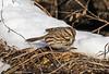 Song Sparrow. (rumerbob) Tags: songsparrow songbird sparrow bird birdwatching birdwatcher wildlife wildlifephotographer wildlifewatcher nature naturewatcher naturephotography peacevalleypark lakegalena avian canon7dmarkii canon100400mmlens