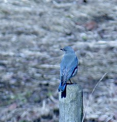 Mountain Bluebird (blackbearz) Tags: