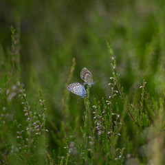 Common blue (Stefano Rugolo) Tags: stefanorugolo pentax k5 pentaxk5 smcpentaxm50mmf17 ricohimaging summer commonblue butterfly two green sweden hälsingland bokeh grass flower plant