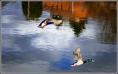 Mouvements de canards (BrigitteChanson) Tags: canards patos ducks anatre reflets reflections riflessi reflexos ciel nuages cielo sky nuvole nubes clouds rivière sambre
