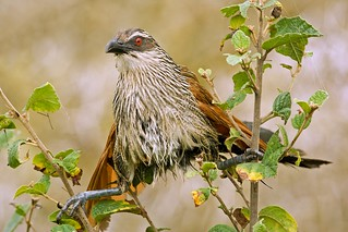 Angry White-browed Coucal