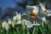 Weiße Narzisse (Narcissus poeticus) (Wolfgang's digital photography) Tags: narzisse echtenarzisse weisenarzisse blume wildblume natur wiese giftig geschützt nikond5300