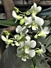 Chicago, Garfield Park Conservatory, White Orchids (Mary Warren 10.2+ Million Views) Tags: chicago garfieldparkconservatory nature flora plants white blooms blossoms flowers orchids