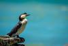 Little Shag (tcmealy) Tags: cormorant little shag newzealand new zealand aotearoa waiheke island huruhi bay travel wildlife